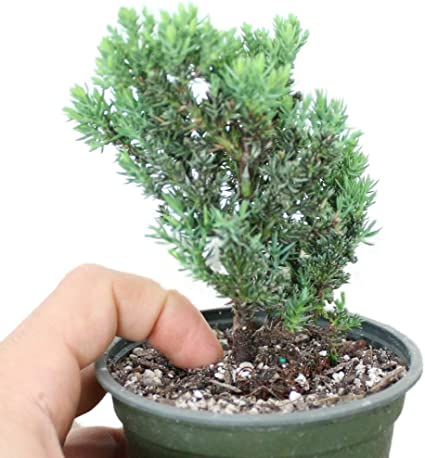 Amazon Com Legendary Yes Bonsai Tree Live Rooted Japanese Dwarf Juniper Fully Rooted Potted In 4 Training Pot Garden Outdoor