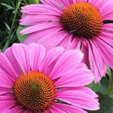 Purple Coneflower (Echinacea purpurea) Seed Balls, Fall or Spring Planting, Bulk Seed Bombs (20)