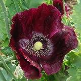 Plant World Seeds - Papaver Somniferum 'Midnight' Seeds
