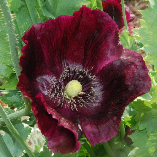 Plant World Seeds - Papaver Somniferum 'Midnight' Seeds