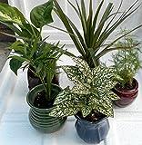"Miniature Garden Plants -3 Plants in 3"" ceramic pots by jmbamboo"