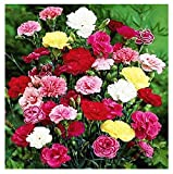 Grenadin Double Mix Carnation Seeds - 275 Seeds - 8 Week Blooming Period - All Zones