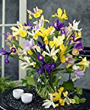 Van Zyverden - Dutch Iris Mixed- Set of 25 Bulbs