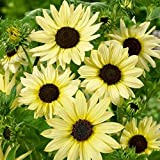 Sunflower Flower Garden Seeds - Italian White - 4 Oz - Annual Wildflower Gardening Seeds - Sun Flower