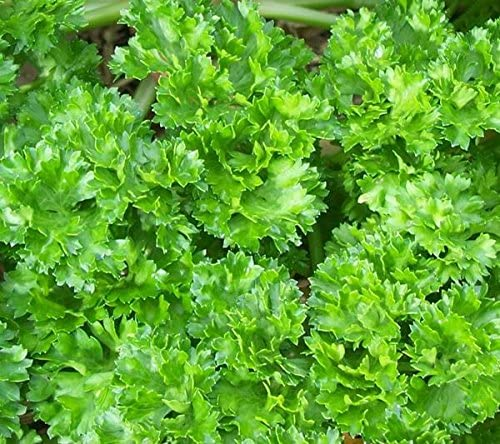 Parsley Curled Garden Herb in a 11cm pot.