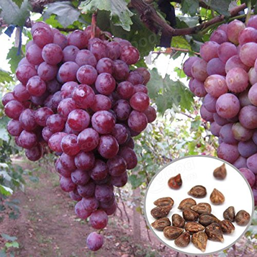 Bargain World 20pcs Red Globe Grape Seeds Garden Sweet Fragrant Juicy Fruit