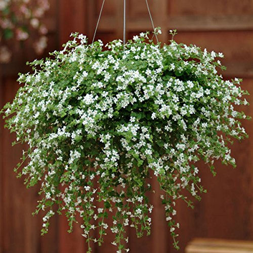 Kings Seeds - Bacopa Snowtopia (Multipellets) - 10 Seeds