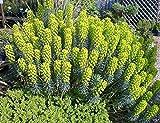 P061X01. 1 Plant of Euphorbia characias subsp. Wulfenii