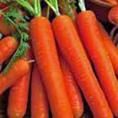 Carrot, Scarlet Nantes, Heirloom, Organic 100 Seeds, Tasty Carrot for Snacks : Garden & Outdoor