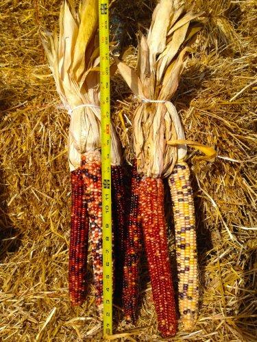 Indian Corn - 5