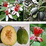 1 PIANTA DI FEIJOA SELLOWIANA Pineapple Guava proprietà antiossidanti benefiche