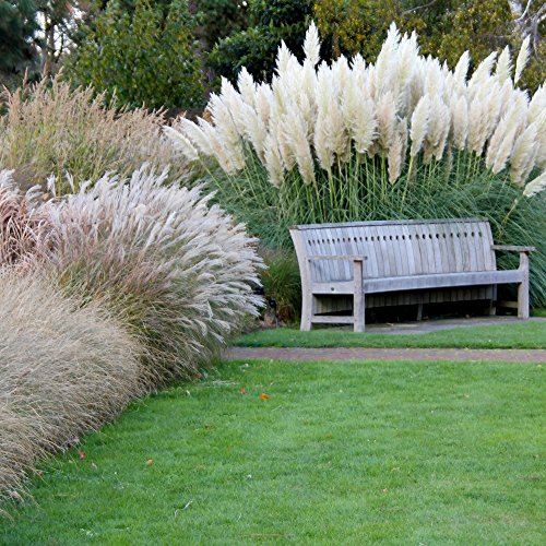 Ornamental Annual Grasses mix seeds