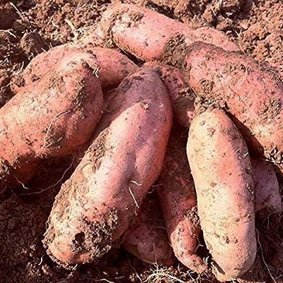 Gilroy Seeds, 20Pcs Sweet Potato Seeds Fruit Vegetable Batata Plant for Indoor Outdoor Home Balcony Garden Yard Farm Planting : Garden & Outdoor