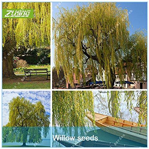 ZLKING 50 Pcs Saule Graines géant jardin Décoration frais vert ...