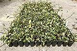 Variegated Asiatic Jasmine Minima - 3 Live Plants - Trachelospermum Asiaticum 'variegatum' - Evergreen Groundcover