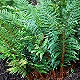 Perennial Farm Marketplace Polystichum polyblepharum (Tassel) Hardy Fern, Size-#1 Container, Dark Evergreen Shiny Fronds
