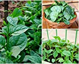 Green Climbing Malabar Spinach 100 Seeds - Ornamental/Edible