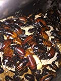 One dozen Adult (12) Madagascar Hissing Cockroaches starter colony