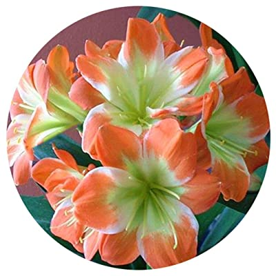 Lioder 50Pcs Lily Clivia Seeds Living Room Plant Garden Flower Seeds Bonsai : Garden & Outdoor