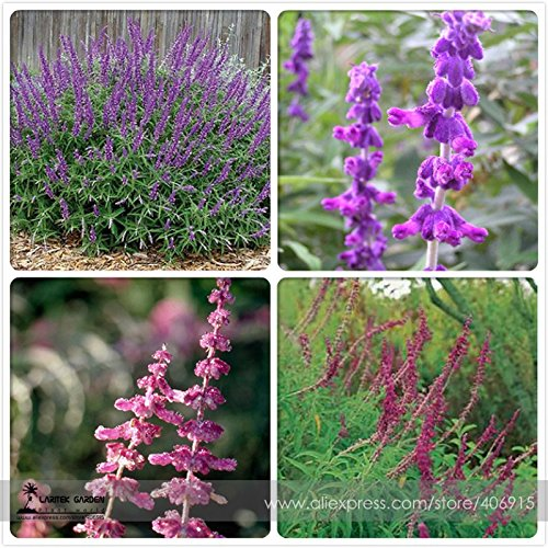 - New Salvia Leucantha Imported Mexican Bush Sage Pink Flower 30+ Seeds