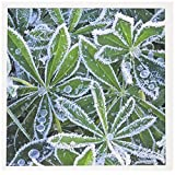 3dRose WA, Mt Rainier NP, Mazama Ridge, Winter frost, Lupine - US48 RTI0283 - Rob Tilley - Greeting Cards, 6 x 6 inches, set of 6 (gc_96793_1)