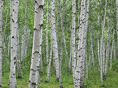 birch, WHITE BIRCH hardwood (excellent firewood) TREE 275 seeds! GroCo