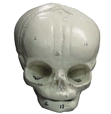 Amazon Human Fetal Skull Toys Games