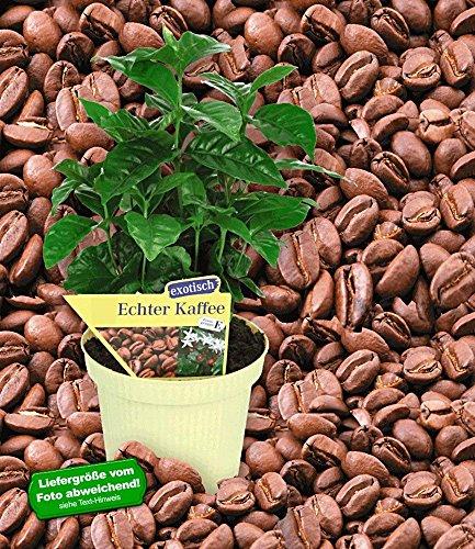 BALDUR-Garten Echter Kaffee Kaffeepflanze Coffea arabica, 1 Pflanze