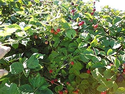 5 Triple Crown Blackberry Plants (Bareroot) (5)
