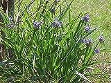 Spiderwort (Tradescantia ohiensis) – 5 Bare Root Starter Plants