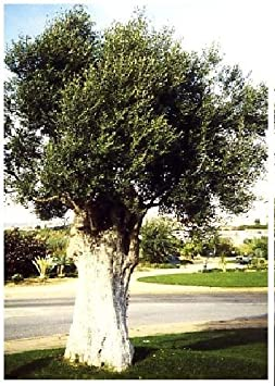 TROPICA - Olivo (Olea europea) - 20 semillas- Mediterrán