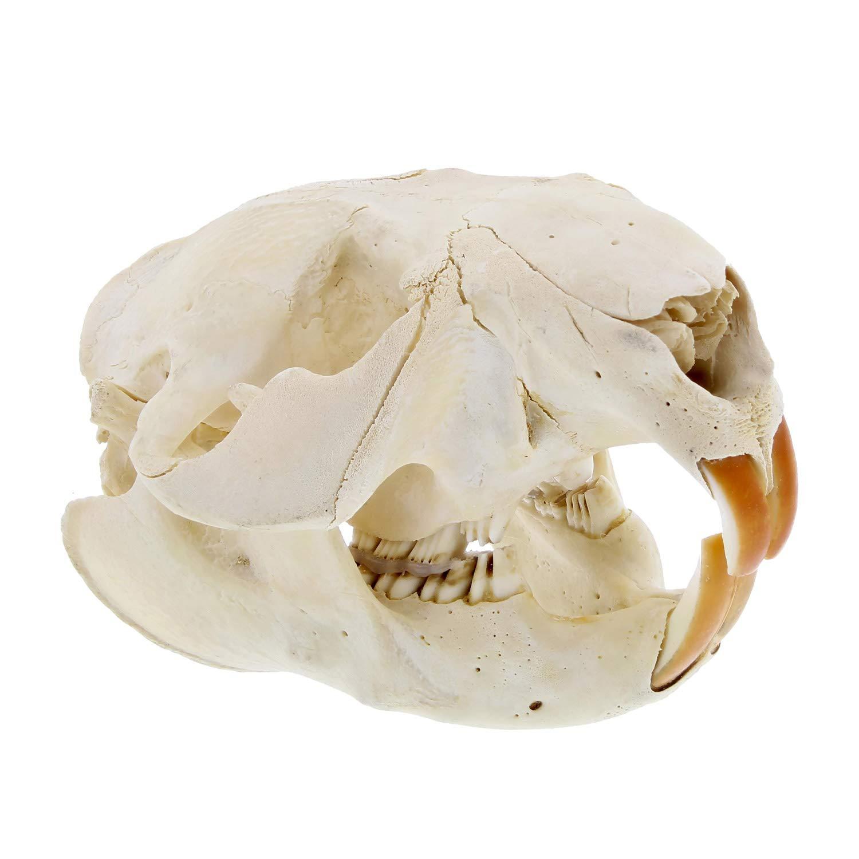 RC Beaver Skull Real Animal Skull - Professional Taxidermy Skull with Beaver Teeth Animal Skeleton Real Skull Bones