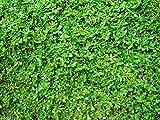 Herniaria Glabra- Green Carpet- Ground-cover 600 Seeds