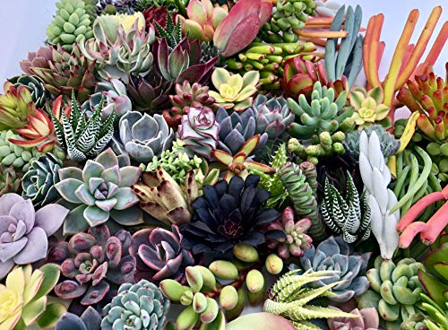 10 Assorted Live Succulent Cuttings, No 2 Succulents Alike, Great for Terrariums, Mini Gardens, and as Starter Plants by The Succulent Cult by The Succulent Cult (Image #2)