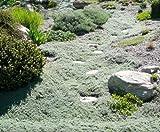 THYMUS PRAECOX PSEUDOLANUGINOSUS WOOLY THYME 1-Live Plant Ground Cover