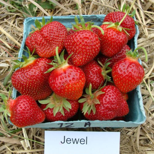 15 Jewel Strawberry Plants Organically Grown-Superb Quality and Flavor(15 ()