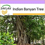 SAFLAX - Indian Banyan Tree - 20 Seeds - Ficus benghalensis