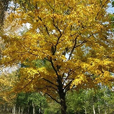 Black Birch Tree Seeds (Betula lenta) 50+Seeds : Garden & Outdoor