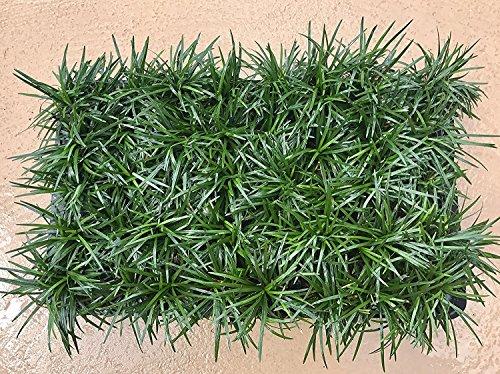 Dwarf Mondo Grass Qty 80 Live Plants Shade Loving Evergreen Ground Cover by Florida Foliage (Image #1)