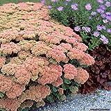 Plentree Seeds Package: Sedum Autumn Joy Perennial Plants - Ground Cover Spring Shipping