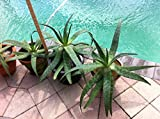Artistic Solutions JUMBO Mother 5 yr Old Japanese Aloe Plant, Bare Rooted