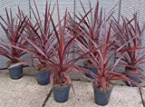3 Bare Root of Cordyline Australis 'Red Star'