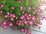 10 PURPLE ROBE SAXIFRAGA Saxifraga Arendsii Moss Rockfoil Evergreen Flower Seeds