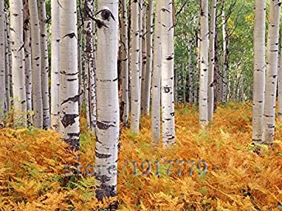 Hot Selling!!! 100 white birch tree seed, rare Russian heirloom sacred white birch, a high survival rate of trees planted garden courtyard