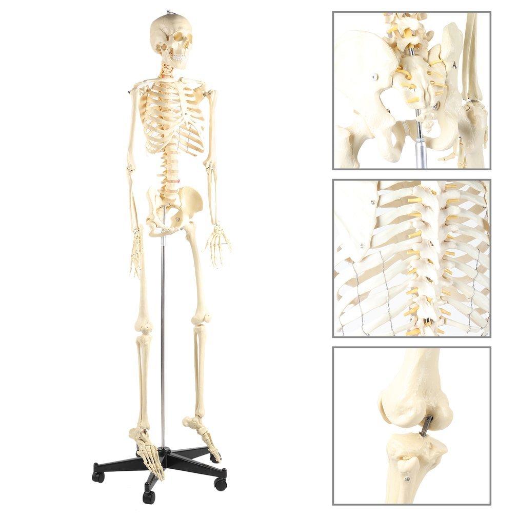 Blackpoolal 175CM Anatomie Skelett Modell Lebensgroß Menschliches ...
