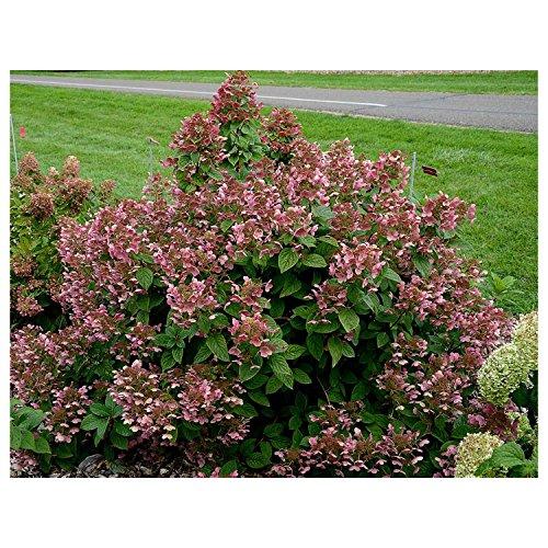 PW® 'Quick Fire' Hydrangea – Quart Pot – Hardy – Heavy – Perennial – Ea 1 by Growers (Pinky Winky)