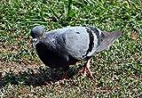 Home Comforts Peel-n-Stick Poster of Bird Pigeon Columba Livia Rock Pigeon Rock Dove Poster 24x16 Adhesive Sticker Poster Print