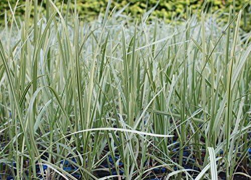 Wasserpflanzen Wolff - Glyceria maxima 'Variegata' - Buntlaubiger-Gebänderter Wasserschwaden - Riesensüßgras