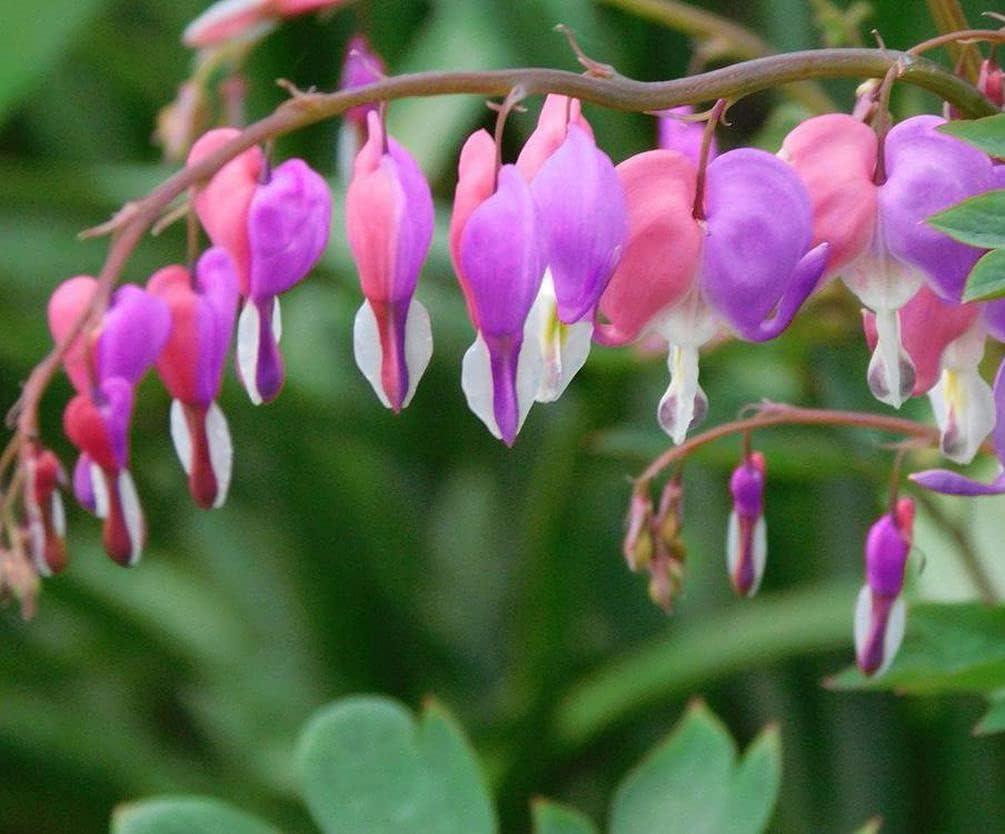 Bleeding Hearts Pink Dicentra Spectabilis Perennial Flower Spring Flowering