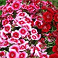Mixed Colorful Dianthus barbatus Seeds 30+ Sweet William Perennial Flower Open Pollinated Non-GMO Flower Seeds